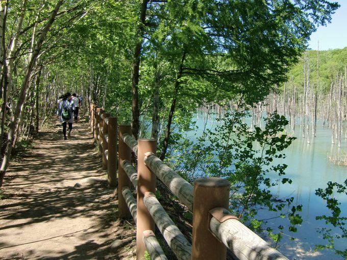 一方通行の白樺並木の遊歩道を通って「青い池」に会いに行く