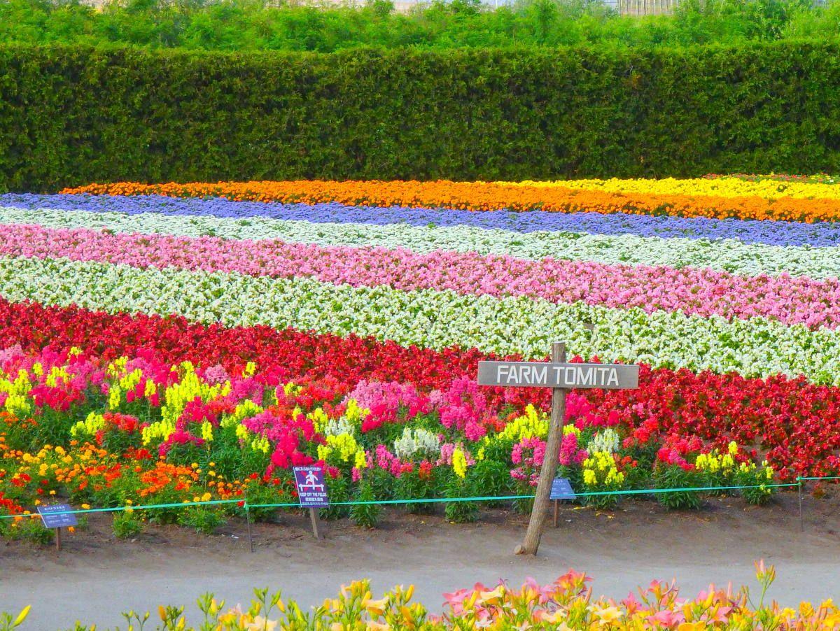 富良野のラベンダーを世界に広めた「富田ファーム」の秋色花畑