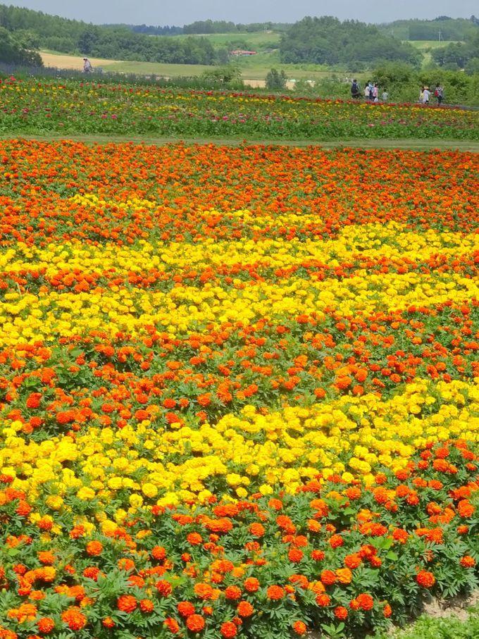 北海道の秋の花畑で見られるお花ってどんな花?