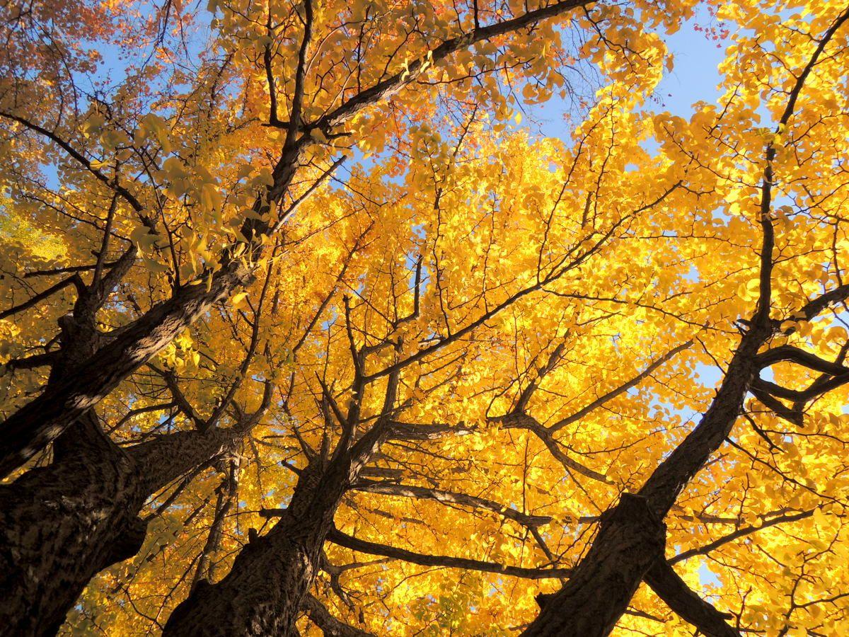 さっぽろ駅から歩いて10分。北海道大学のイチョウ並木