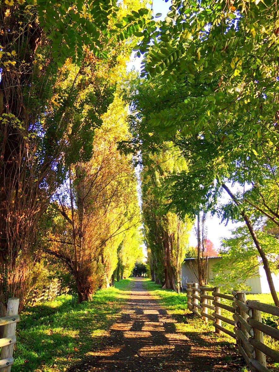 イチョウ並木より少し遅めの紅葉が楽しめるポプラ並木