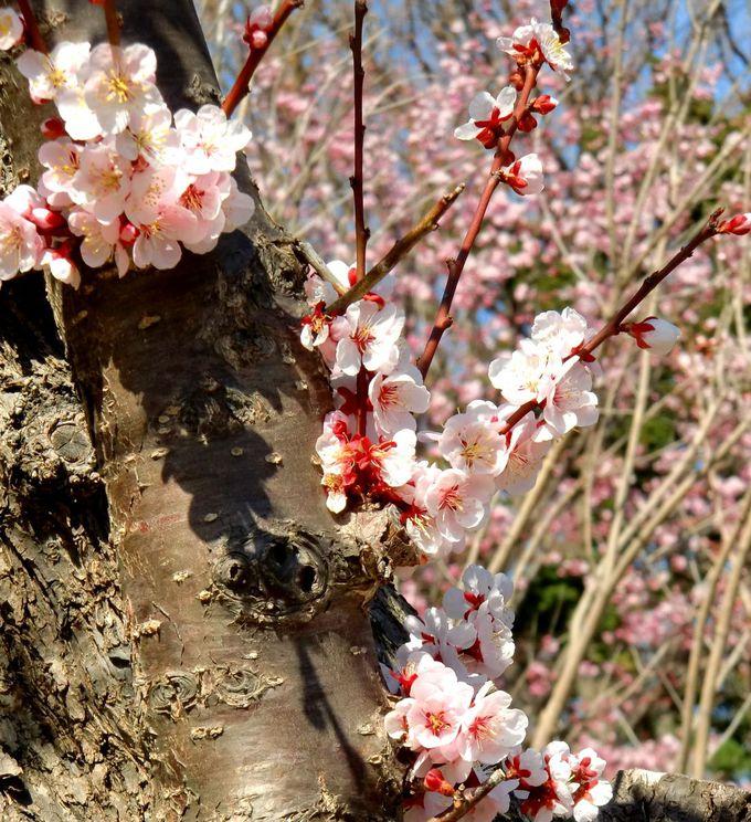 春は梅と桜のお花見スポットへ。「北海道神宮」と隣接する「円山公園」