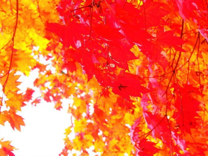 「紅桜公園」鮮やかな紅を味わう