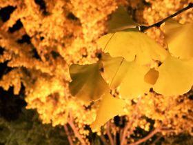 北海道大学で紅葉狩り!2017年「イチョウ並木」一般開放とライトアップ