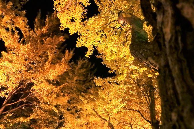 イチョウ並木の中の一本をじっくり楽しむ