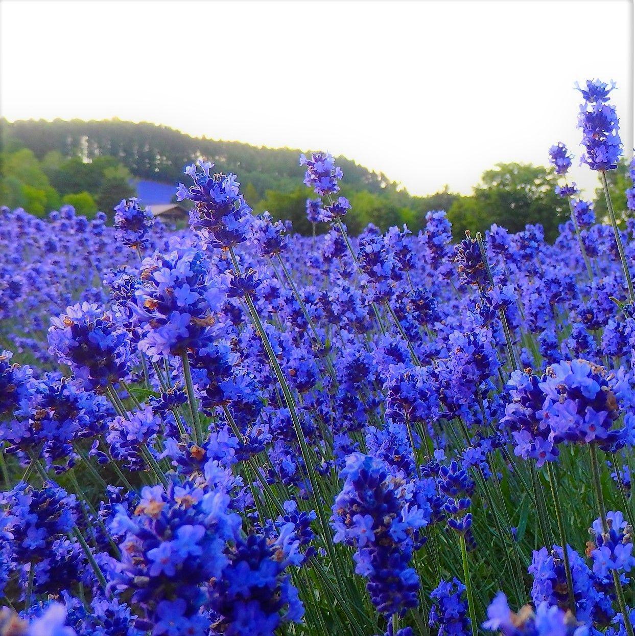 「ファーム富田」のラベンダー畑の見頃に渋滞回避で行きたい!