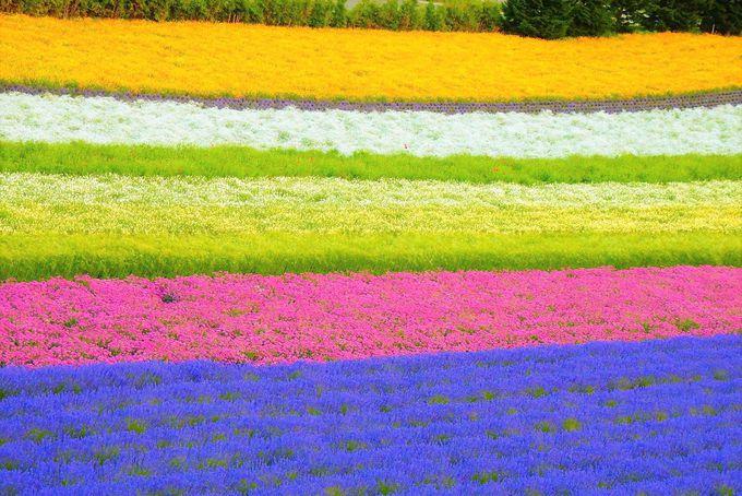 虹色を超えるストライプ!SNS映え抜群なレインボー花畑