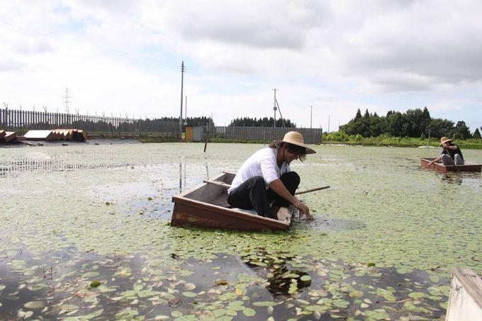 旬の高級食材を舟に乗って摘み取ろう!秋田三種町・じゅんさい摘み取り体験