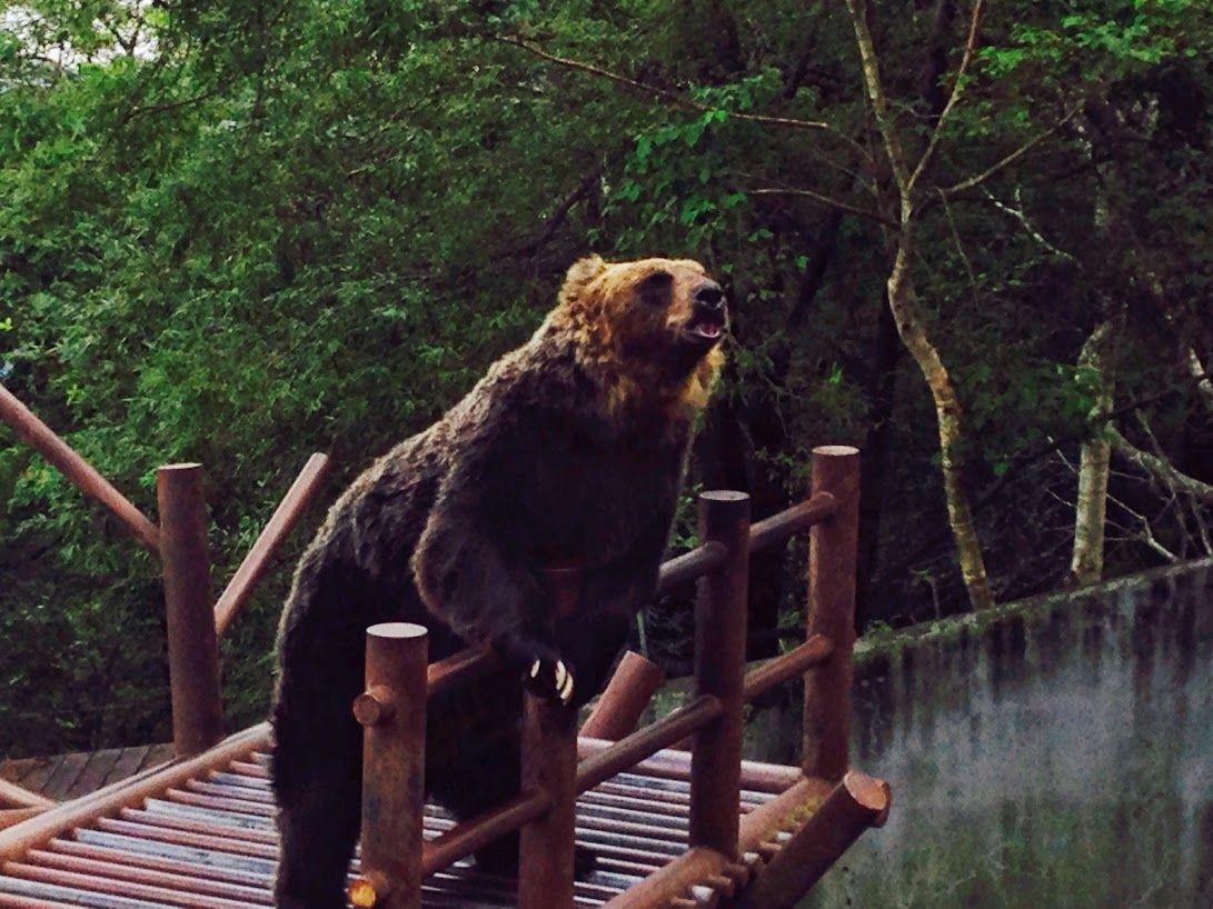 クマの器用さを観察