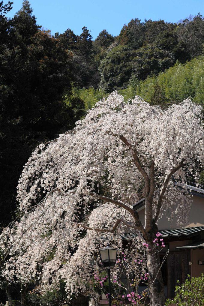 しだれ桜の満開は若干遅目
