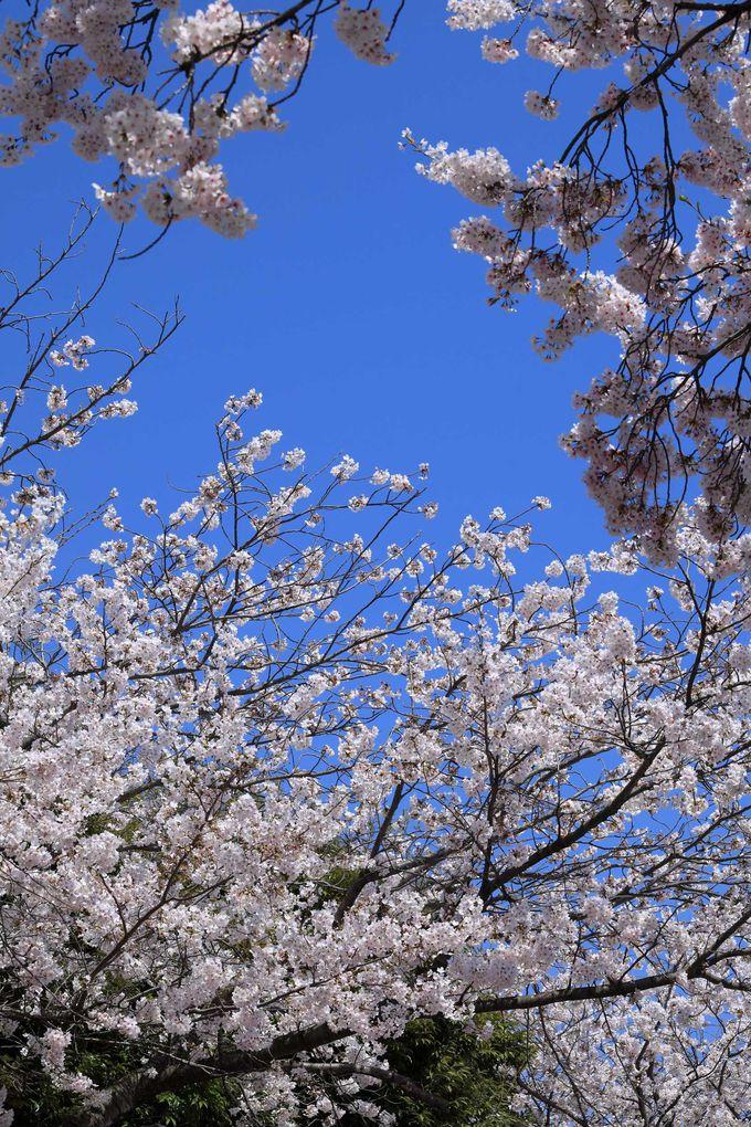 国立印刷局小田原工場は観桜会を開催
