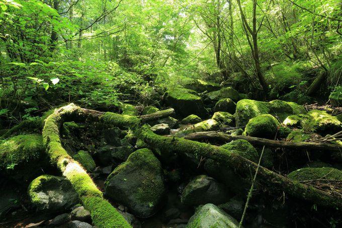 沢沿いの苔の森を行く