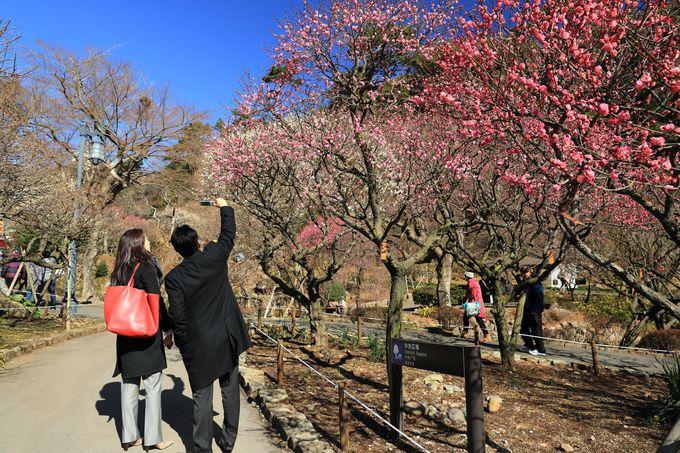 早咲き日本一!「熱海梅園」は梅の香りでいっぱい
