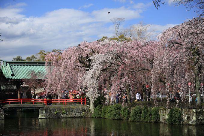 驚きのピンク!7色の桜色を持つしだれ桜「静岡・三嶋大社」