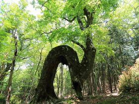 日本百名山のブナ原生林群!静岡・天城山の圧倒的な自然を歩く|静岡県|トラベルjp<たびねす>