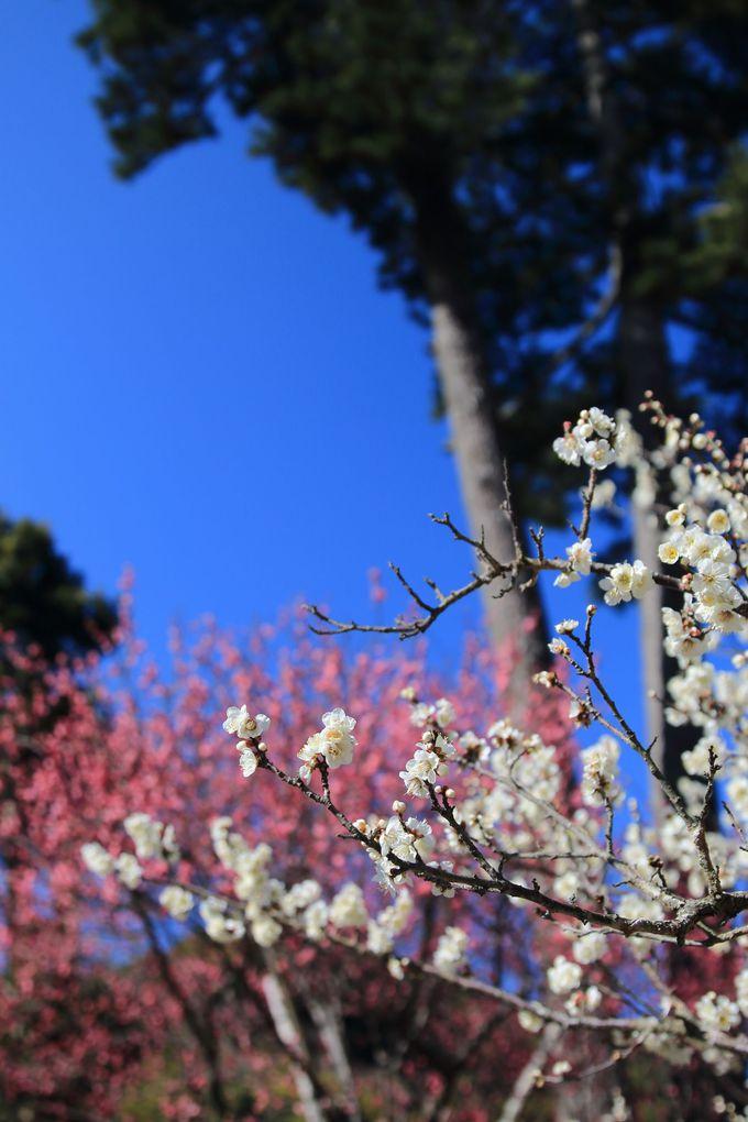 長期間楽しめる熱海の春の宴