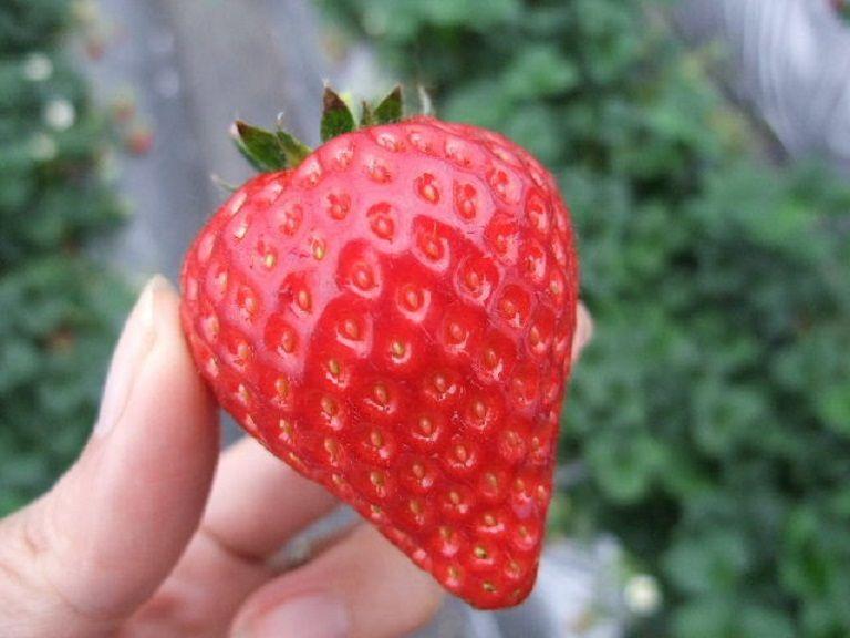 千葉県のオリジナル品種「ふさのか」を味わう
