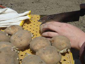 栃木「いちごの里」でじゃがいもオーナーになろう!3000円で40キロ収穫できるチャンス!|栃木県|トラベルjp<たびねす>