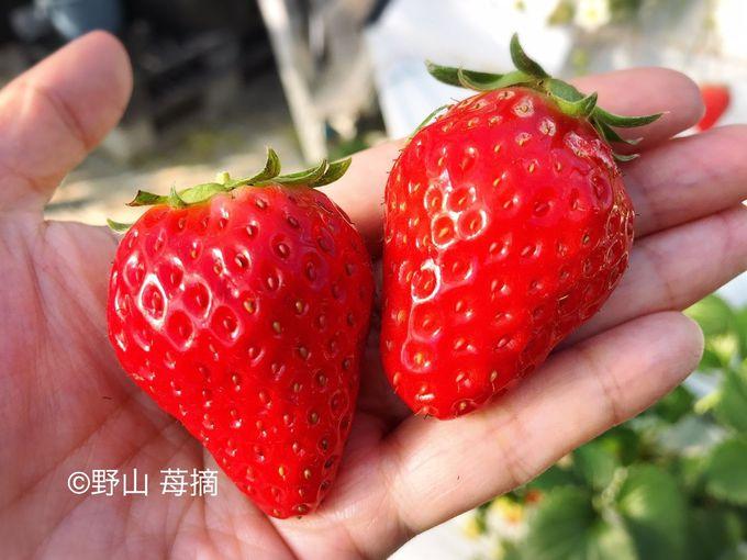 紅ほっぺや章姫をはじめ、複数品種を食べ放題!