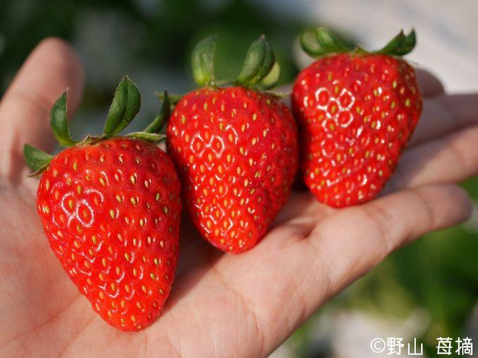 埼玉オリジナル品種「彩のかおり」を含む5種のいちごを食べ放題!
