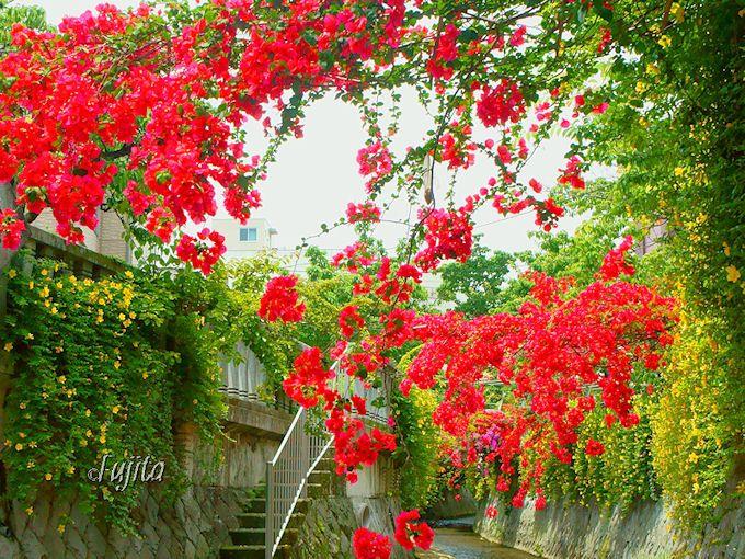 熱海温泉の糸川ブーゲンビリアは色彩の洪水!