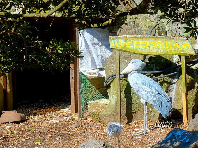 近年人気のハシビロコウのビル君は30年以上も前から居ます