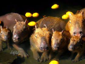 元祖カピバラ温泉!伊豆シャボテン公園の「カピバラ露天風呂」は真冬がベスト