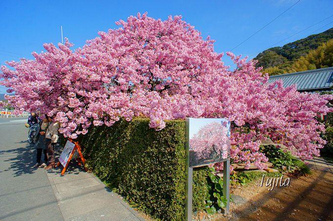 河津桜まつり一番の絶景「かじやの桜」!絶景ポイント1