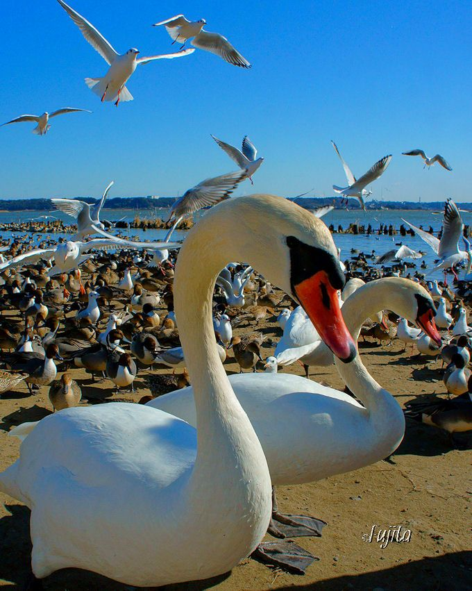 上陸する白鳥も観察可能!