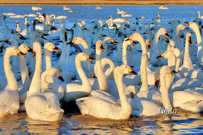 夕方の白鳥の湖