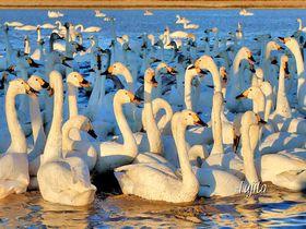 白鳥飛来数1000羽以上!印西市・本埜「白鳥の郷」