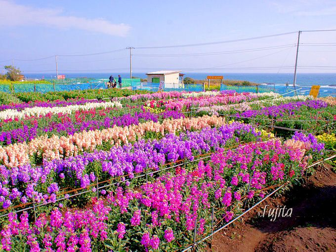 千葉と言えば花いっぱい!潮の香りを感じながら走れる、南房総〜館山「房総フラワーライン」