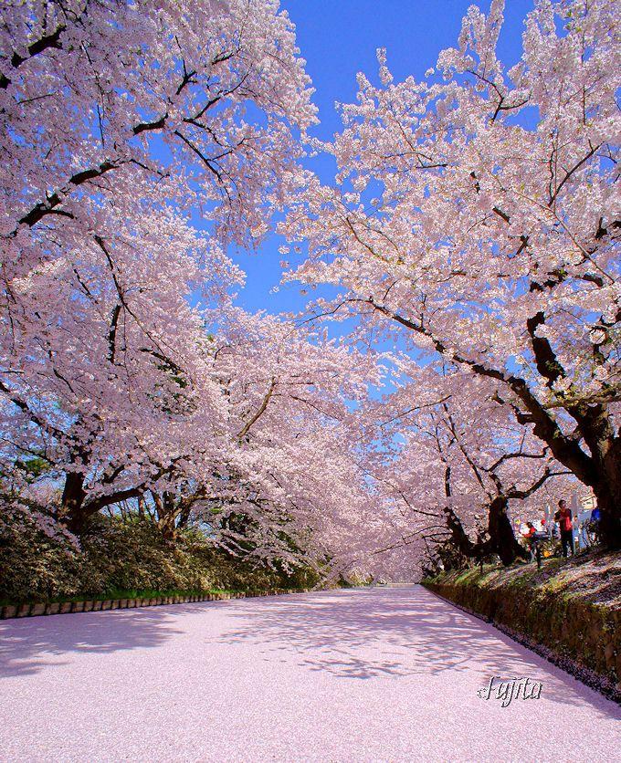 弘前さくらまつり「外堀の花筏」は日本三大桜名所らしい猛烈な絶景