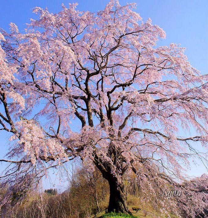 穴場の一本桜は驚愕の絶景!五斗蒔田桜(郡山市)