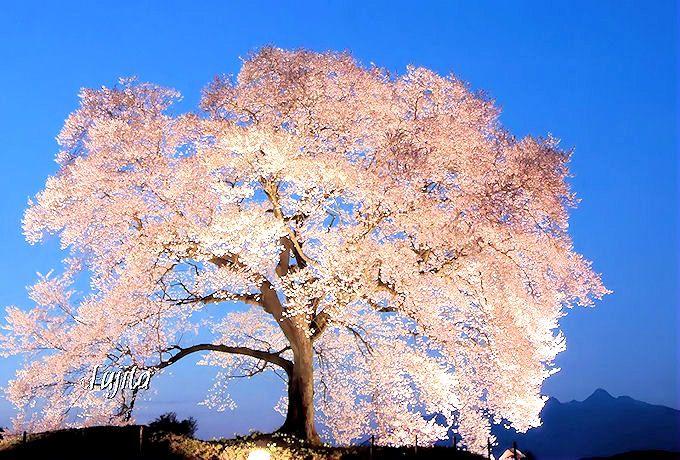 わに塚の桜はライトアップも絶景!山梨県の一本桜・花見名所5選