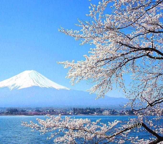 富士山と河口湖と桜の絶景!長崎公園の桜(富士河口湖町)