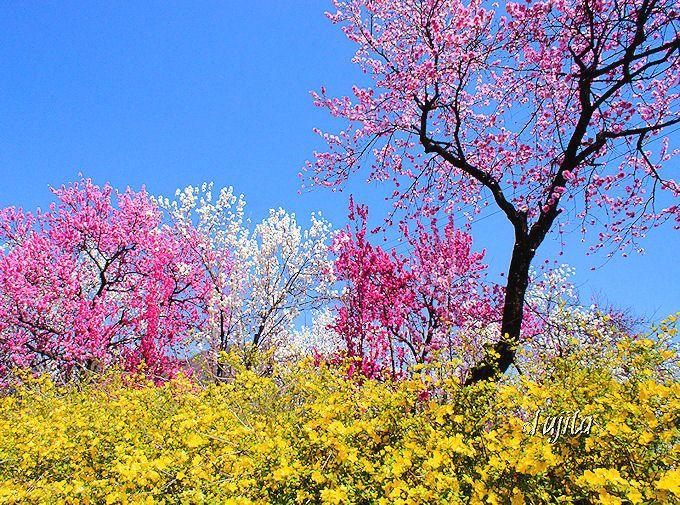 放光寺(甲州市)は桜に加えて花桃も絶景!