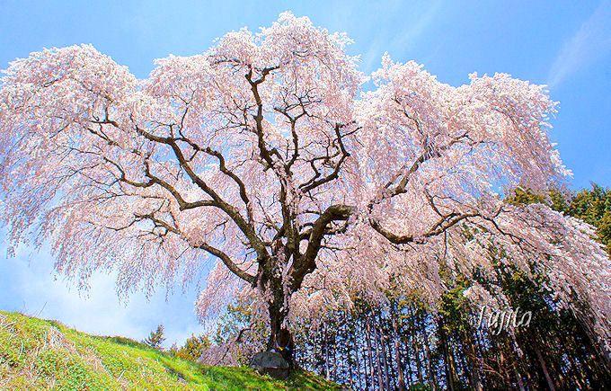 乙ヶ妻のしだれ桜(山梨市)は穴場の名一本桜!
