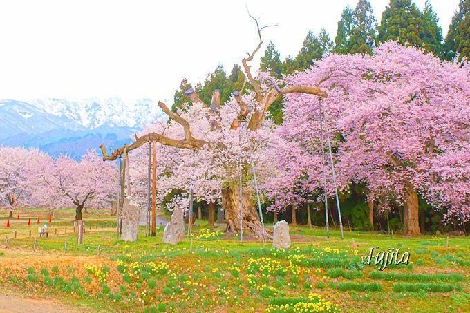 絶景の周辺環境が最高!釜の越桜(置賜さくら回廊、白鷹町)