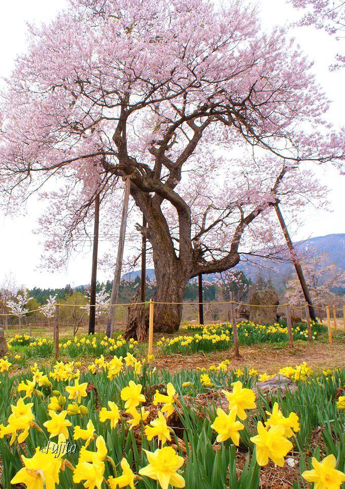 夜中のかいもちが名物!十二の桜(置賜さくら回廊、白鷹町)