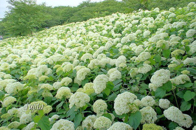 権現堂桜堤は水仙と紫陽花と彼岸花も名所