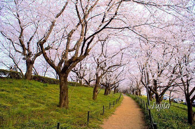 権現堂桜堤のお花見散策