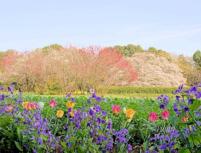 吉高の大桜は、周囲の田園風景も美しい