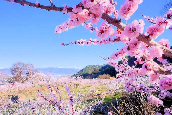 10万本の絶景!千曲市・森「あんずの里」は杏生産量日本一