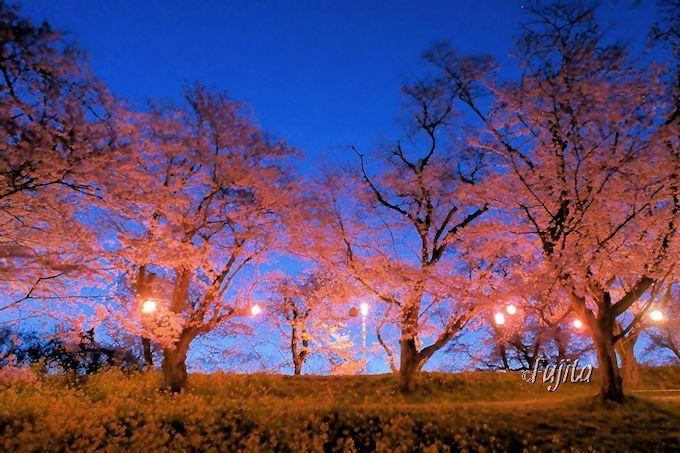 城ヶ谷堤の桜並木は、夜桜も絶景!