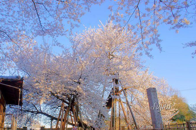 日本五大桜「石戸蒲ザクラ」は、世界で唯一の品種