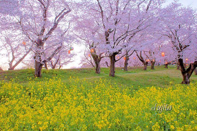 城ヶ谷堤の桜並木は「石戸蒲ザクラ」と同時に満開