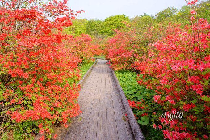 木道をつつじが鮮やかに彩る!那須八幡ツツジ群落