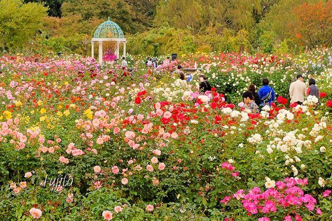 京成バラ園の秋バラも、見応え十分