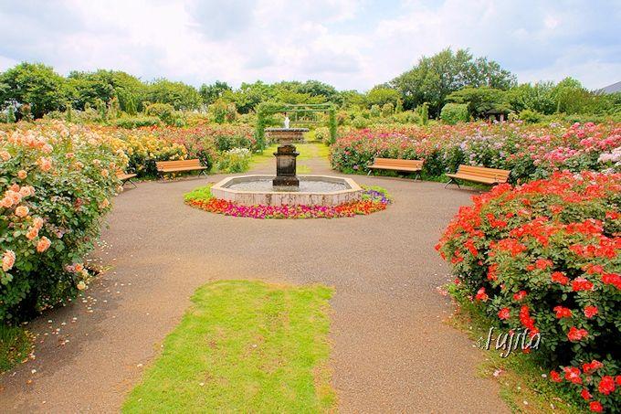 京成バラ園の夏バラは、最大の穴場